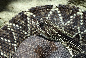 Mayan serpent crotalus durissus